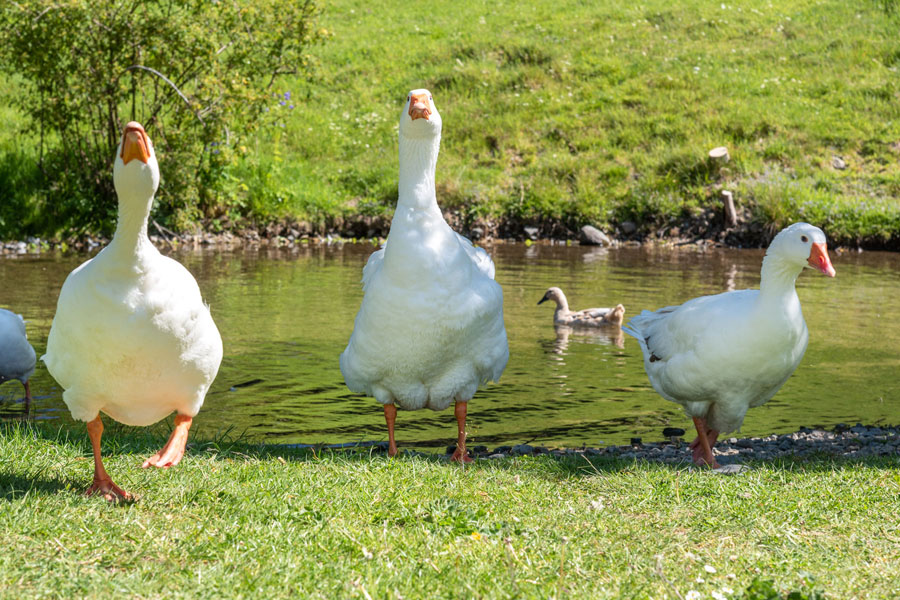 Fornside Farm geese