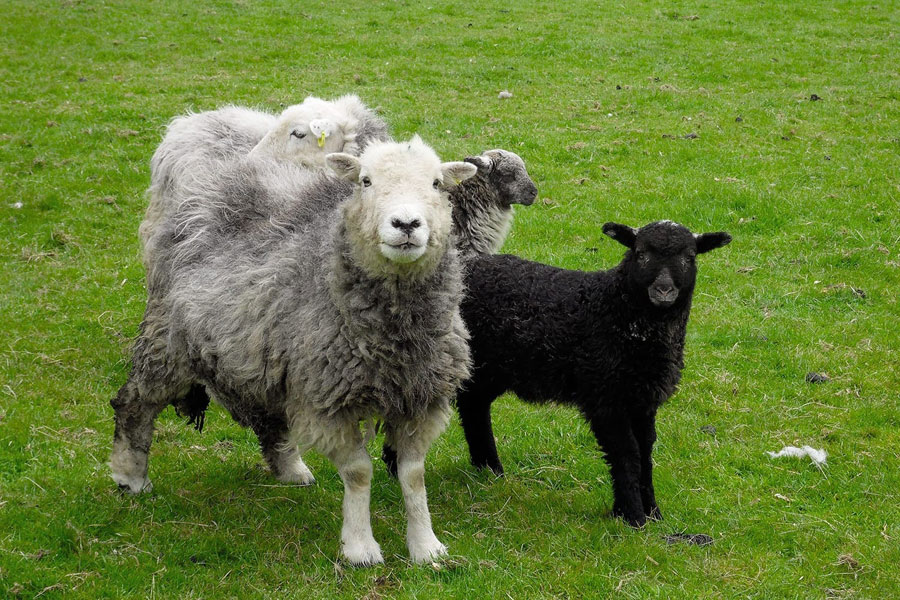 Fornside Farm Herdwick sheep and lambs