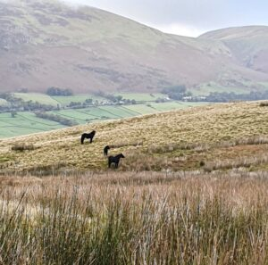 Old Coach Road fell ponies