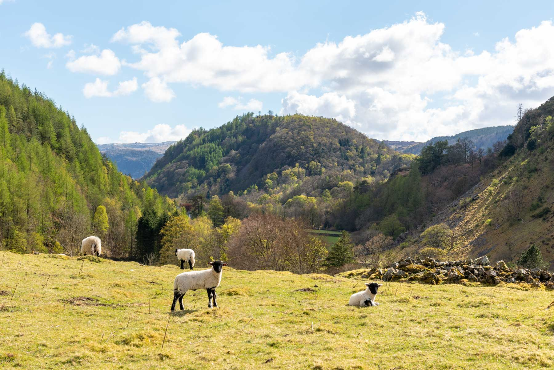 Swaledale lamb at Fornside